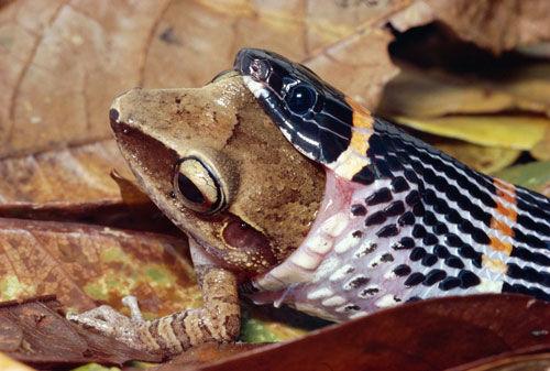 这片大叶子位于热带雨林溪流的上方,它们将青蛙卵排在叶子上.