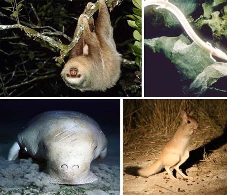 20种濒临灭绝物种:半水栖无毛猿(组图)