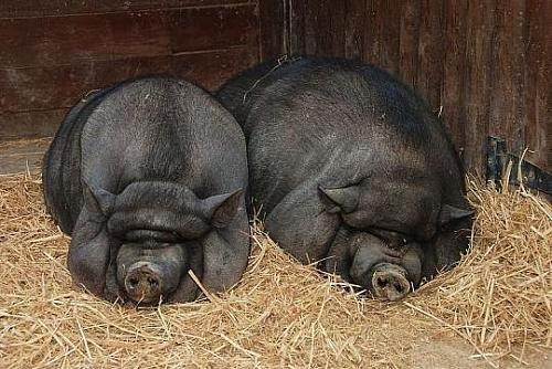 大肚子猪,猪如其名,大腹便便,一看就知道是整天吃了就睡觉.图片