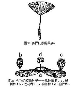 """有些植物的""""翅膀""""或""""降落伞""""只在飞行的时候固着在种子身上."""