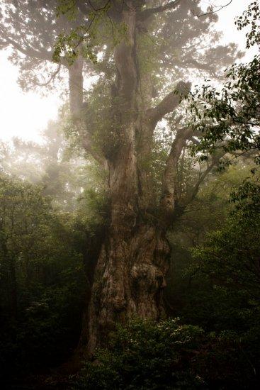 日本巨柳杉