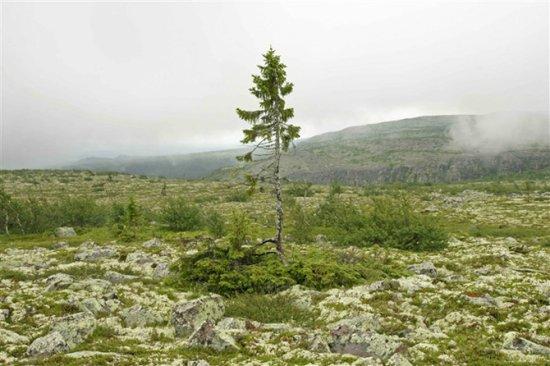 挪威古云杉
