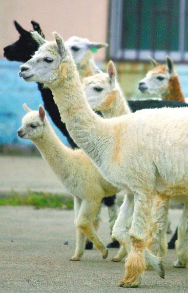 青岛动物园里的羊驼也是