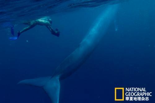 蓝鲸冬游记:科学家追踪揭秘世界最大动物(图)(2)