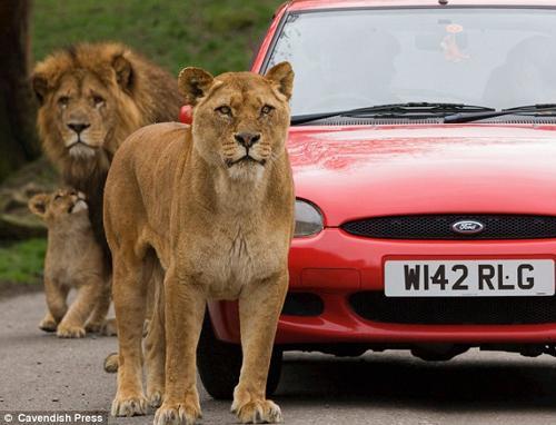 英国野生动物园狮子团团包围汽车(图)