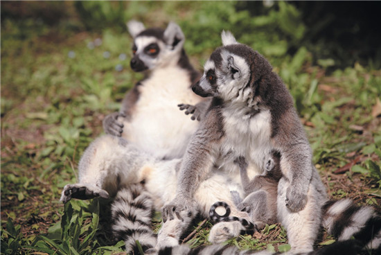 狐猴 马达加斯加岛之精灵
