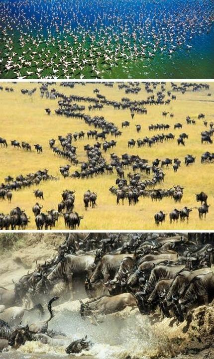 东非野生动物大迁徙[图]
