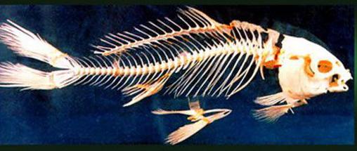 鱼的基本结构图